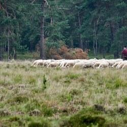 Kudde met herder en hond Leersumse veld