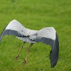 wegvliegende blauwe reiger (2)