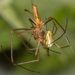 2 spinnen samen onafscheidelijk
