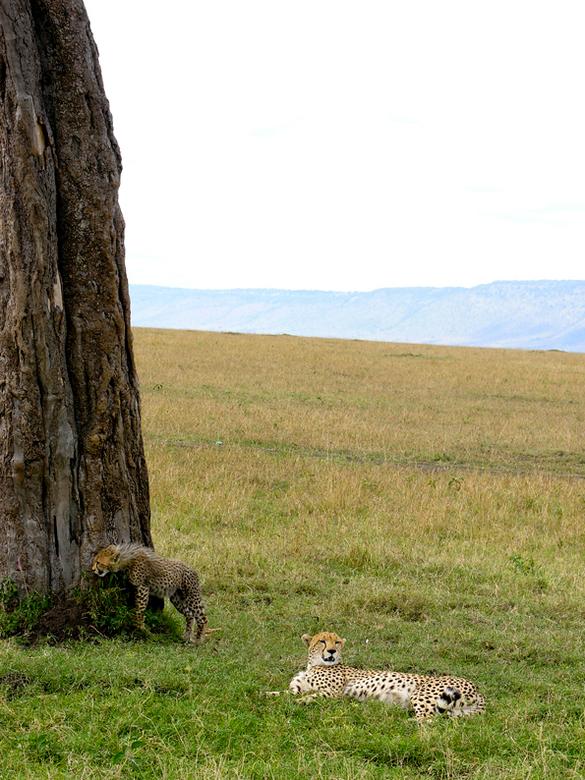 Cheeta met welp 2 - Zoals beloofd...