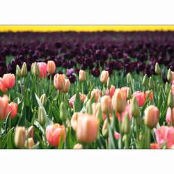 Bewerking: Tulpenvelden