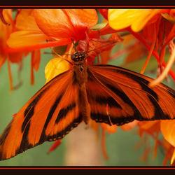 vlinder in het oranje