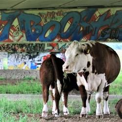 Hippe koeien