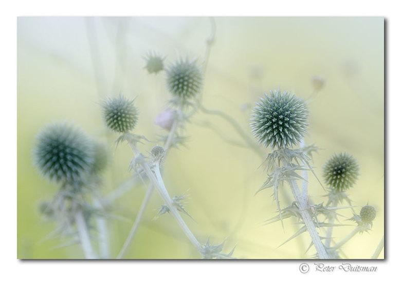 Prickly - ..geen idee hoe deze stekelbollenplant heet..maar het had wel iets. (Remco kwam met de naam.., dank..,het is een kogeldistel)<br /> Dubbele