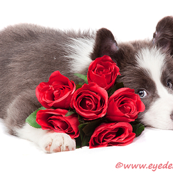 Border Collie puppie