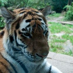 Tijger in dierentuin te Amersfoort
