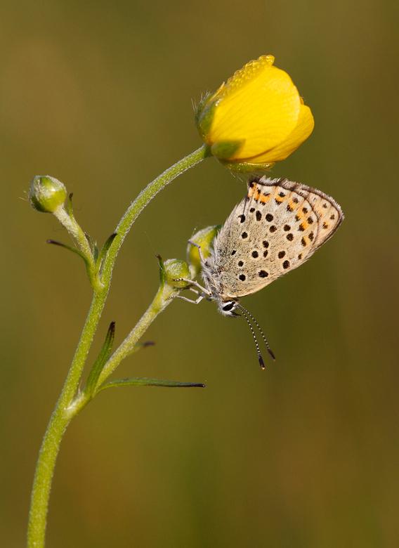 Bruine vuurvlinder op boterbloem - Vanmorgen om 5.00 uur al opgestaan! Rondgesnuffeld in een voor mij nieuw natuurgebied (Bargersveen - Klazienaveen -