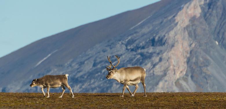 arctische rendieren in Spitsbergen - Arctische rendieren in Spitsbergen, deze rendieren zijn minder schuw dan de gewone rendieren die in de rest van s