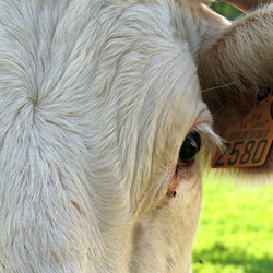 Stukje koe