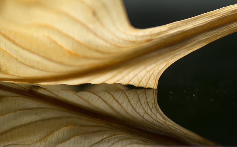 Double gold - Vaak wordt je verrast door iets eenvoudigs als een verdord blad. Zulke mooie kleuren en details. En met een zwarte, spiegelende ondergro