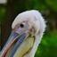 kop van een pelikaan