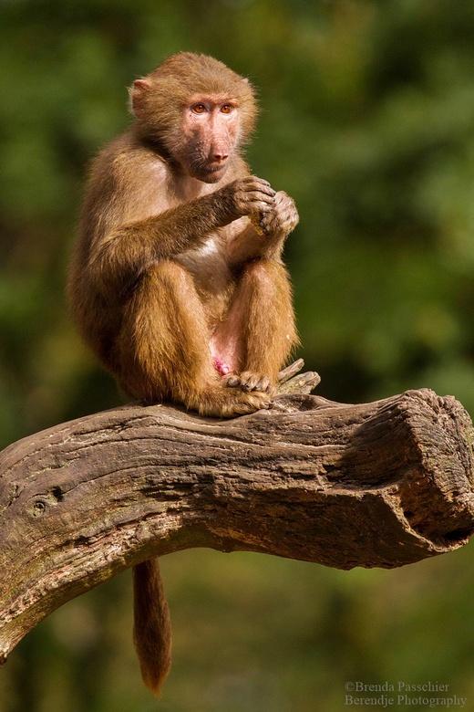 Mantel Baviaan. - Deze jonge baviaan genot nog even van 1 van de laatste zonnige dagen.