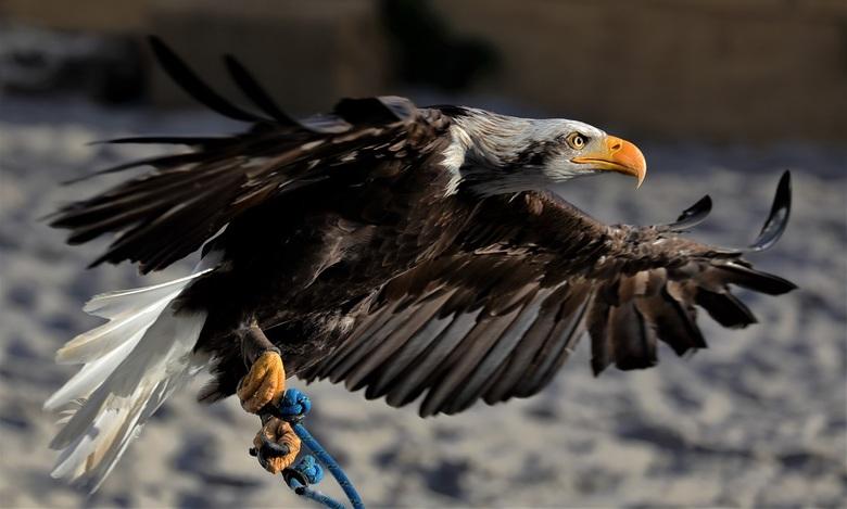 Zeearend - Geschoten tijdens een roofvogelshow in Zoetermeer