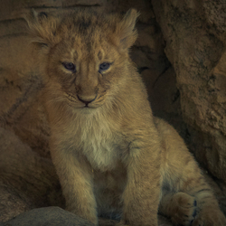 Aziatische leeuwenwelp ..