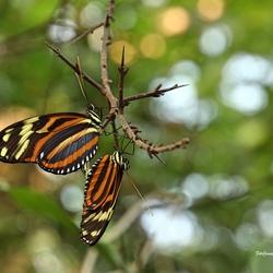 Monarchvlinders (parend)