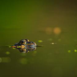 Groene kikker (2)