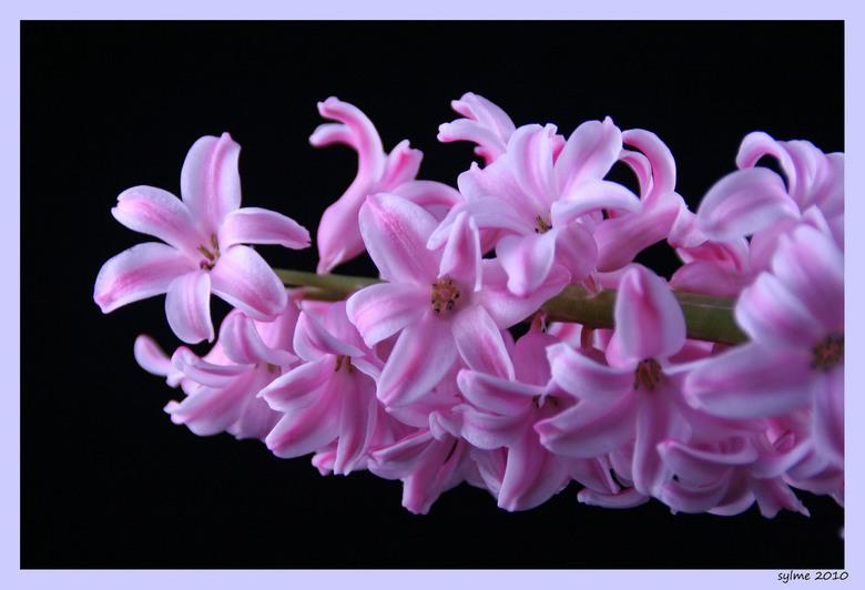 je ruikt hem bijna......... - Een van mijn bloeiende hyacinten.<br /> Als ik deze zie dan ruik je hem ook bijna direct.