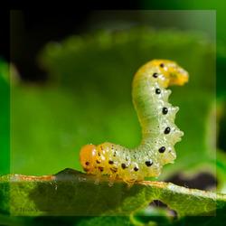 bladwesp larve acrobatiek