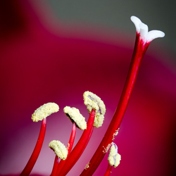 Amaryllis, groepje meeldraden