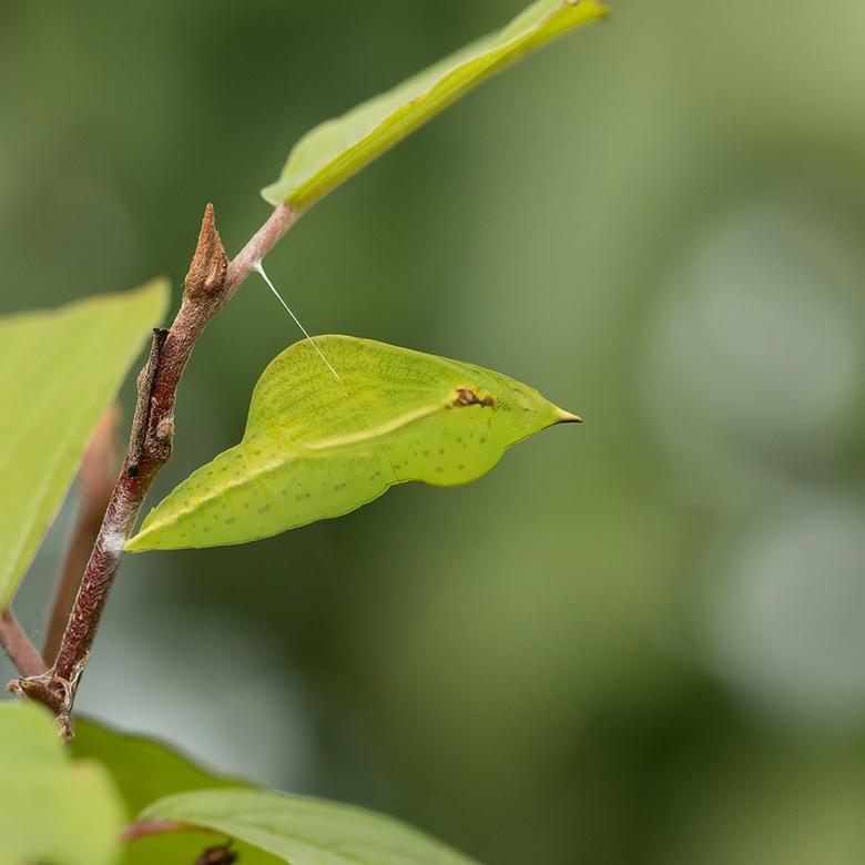 Pop citroenvlinder... - De citroenvlinder zet haar eitjes af op<br /> sporkehout en wegedoorn; vooral jonge struiken op open zonnige plaatsen. gelukk