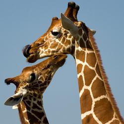 Moeder en baby Giraf Masai Mara - Kenia