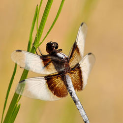 Widow skimmer...