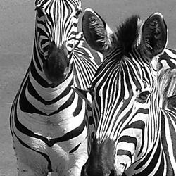 Burchell Zebra's