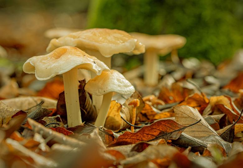 White Beauty on leave bed - ik zelf vind de bladerend op de ondergrond erg mooi . geeft een mooie herfst sfeer. weet niet welke dit is een zwam of een