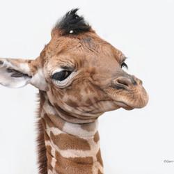 Artis-Giraf