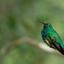 Puerto rican emerald hummingbird
