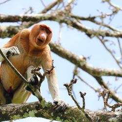 Dutch Monkey
