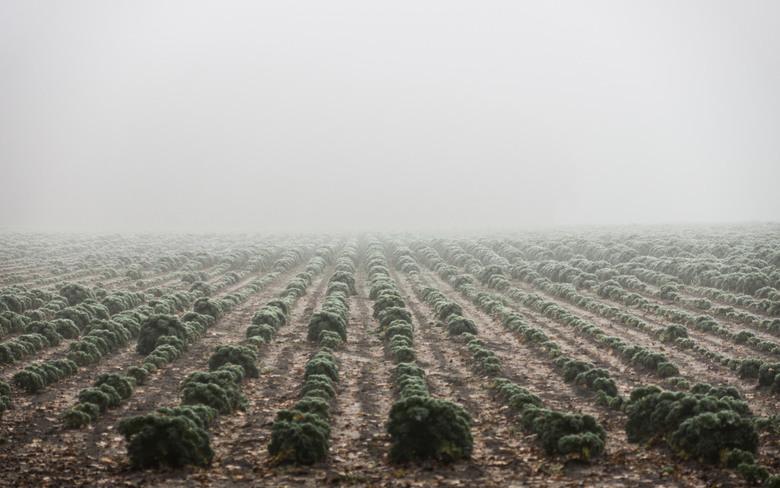Boerenkool - Bergen op Zoom