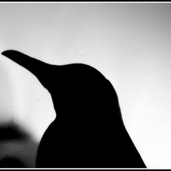 pinguin silhouette
