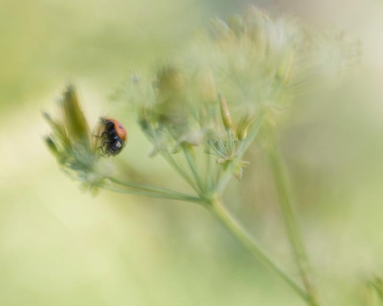 ladybug 2 - iedereen bedankt voor de reacties op mijn vorige upload,lensbaby sweet50 <br /> gr Remco