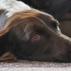Hond liggend op de vloer