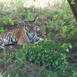 tijger in schaduw 1903028204Rmw