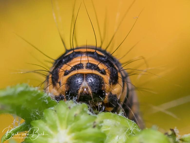 Hairy - Rups van de Sint-Jacobs vlinder