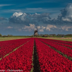 Tulpenpracht bij Schermerhorn