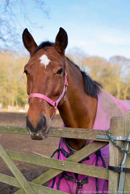 PORTRET FOTOGRAFIE - Tijdens mijn fietstochtje vanmiddag keek dit paard mij aan en ik dacht; okee, jij in je prachtige roze kleedje verdient ook een f