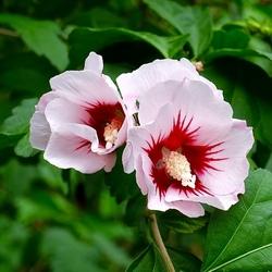 Witte Hibiscus