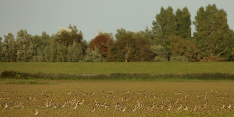 Een veld vol Wulpen - Een veld met Wulpen ...<br /> <br /> Een plaatje uit de vroege herfst, september van dit jaar, aan de Friese kust...<br /> <b