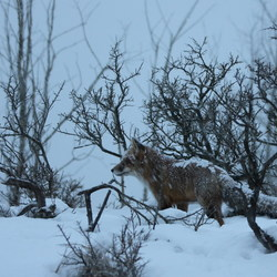 vos tijdens sneewbui