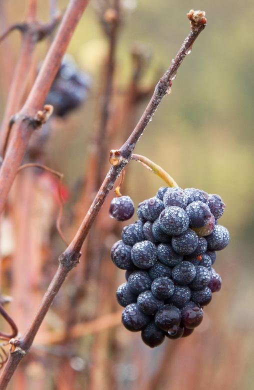 Druiventros, te laat voor oogst - Druiventros, in de champagnestreek.  Te laat voor de oogst