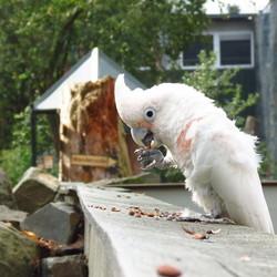 Goffin Kaketoe in Zoo Veldhoven