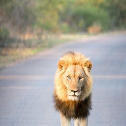 Leeuw op pad