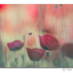Picturesque poppy field