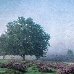 Purple heath