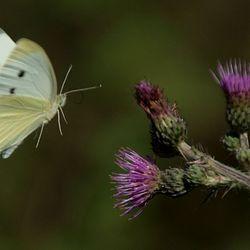 Vliegend witje