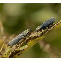 mannetje en vrouwtje Cicade