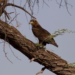 Young Tawny eagle Botswana